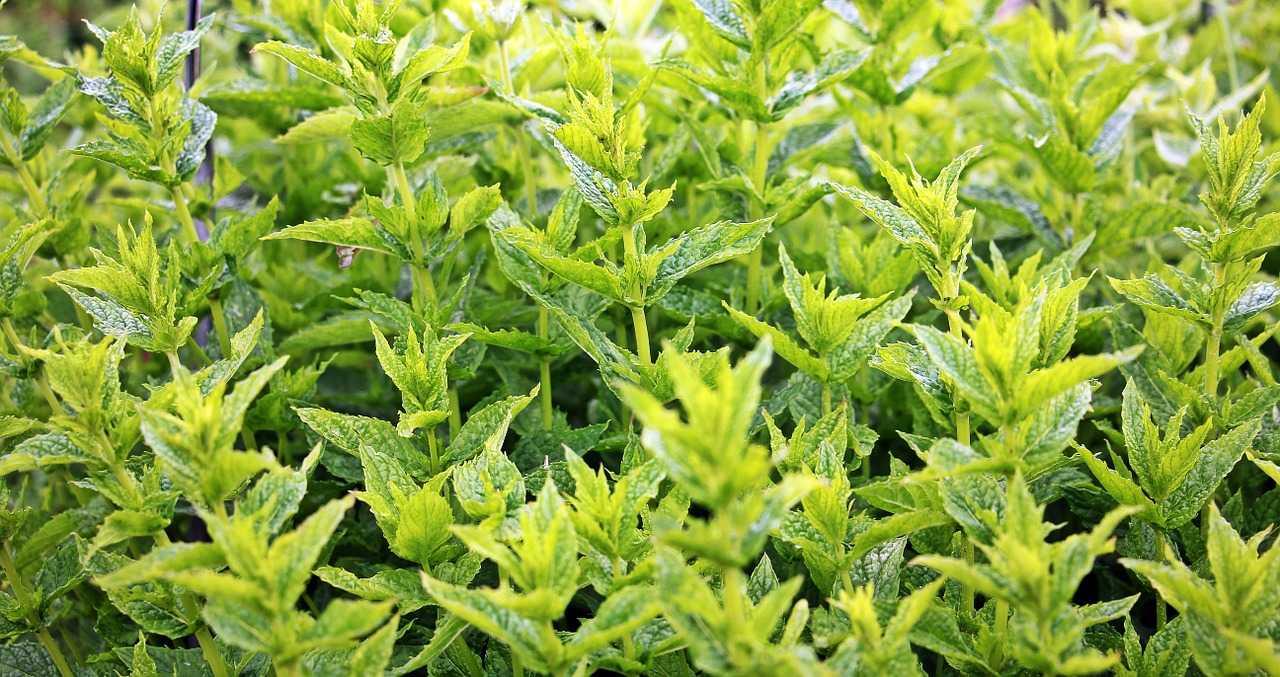 mint plant grown in kitchen garden